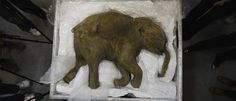 Biologists Plan to Bring the Woolly Mammoth  Back to Life by 2019 https://futurism.com/4-we-could-see-woolly-mammoths-resurrected-within-two-years/?utm_campaign=coschedule&utm_source=pinterest&utm_medium=Futurism&utm_content=Biologists%20Plan%20to%20Bring%20the%20Woolly%20Mammoth%20%20Back%20to%20Life%20by%202019
