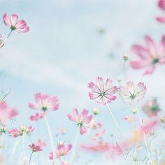 コスモス 秋桜~ Cosmos of Fall. ・ prettylittleflower
