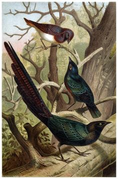 Starlings  - from Brehms Tierleben (Brehm's animal life) - 1900