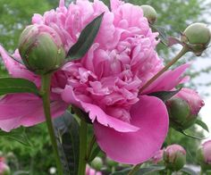 Edulis Superba Peony (Paeonia lactiflora) care and propagation information.  For seed giveaways, daily tips and plant info, come join us on facebook! https://www.facebook.com/thegardengeeks