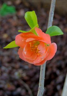 Chaenomeles japonica (membrillero japonés).  http://www.elhogarnatural.com/fichas%20A/AZ%20fichas/FichasdesdeAbeliaaAztekium.htm