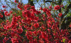 Japánbirs: A gondozástól a metszésig - minden egy helyen Chaenomeles, Purple Plants, Virtual Art, How To Attract Hummingbirds, Plantation, Garden Plants, Free Images, Magnolia, Japanese