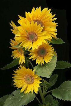 - The Next-Gen Social Network Sunflowers And Daisies, Yellow Flowers, Beautiful Flowers, Sun Flowers, Sunflower Garden, Sunflower Art, Flor Magnolia, Sunflower Pictures, Flower Images