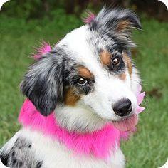 Denver, CO - Australian Shepherd Mix. Meet Radley, a dog for adoption. http://www.adoptapet.com/pet/16263508-denver-colorado-australian-shepherd-mix