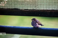 mignon visitor - Pinned by Mak Khalaf Animals animalbirdhousevisitor by paintbrezno