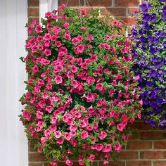 Petunia 'Trailing Surfinia Hot Pink'. The no.1 trailing petunia The longest trailing stems Weather-resistant