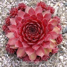 RED Sempervivum 'Rubin'