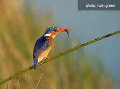 Malachite Kingfisher - How to #photograph #birds on #safari. #Africa #Travel #Wildlife