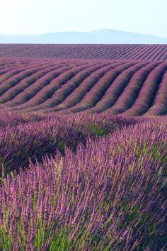 In Valensole town, Provence, France. Lavender Fields, Lavender Flowers, Purple Flowers, Lavender Soap, Lavander, French Lavender, Plum Purple, Purple Rain, Imagen Natural