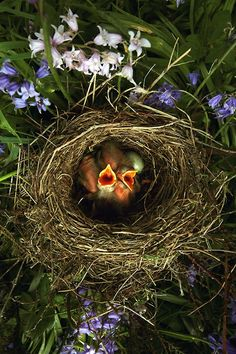 Spring brings a return of tiny, baby birds waiting for the return of their mothers in nests everywhere!