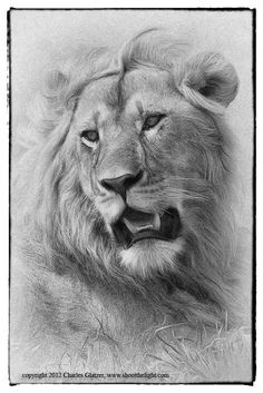 Young male lion portrait by Charles Glatzer