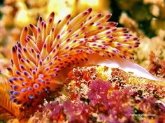 How cool is this? Gas flame nudibranch