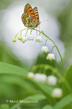 Glanville Fritillary on Lilly of the Valley