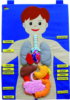 Large fabric wallchart of the human body with 15 attachable body pieces and 13 name labels. The chart comes with an information booklet for teachers and parents. Size : 50 x 70 cms Age : 3 years +. Not suitable for under 3 years - small parts. Human Body Science, Human Body Activities, Learning Activities, Toddler Activities, Kids Learning, Human Body Crafts, Skeletal System Activities, Science Projects For Kids, Science Experiments Kids