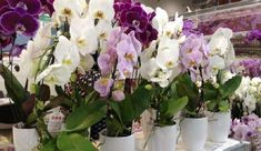 Care for orchids at home with a photo - New Ideas Amaryllis Bulbs, Geranium Flower, Growing Orchids, Orchid Care, Garden Care, Flowers Perennials, Water Plants, Geraniums, Houseplants