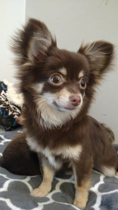 Brown Chihuahua, Cute Chihuahua, Chihuahua Puppies, Little Puppies, Cute Dogs And Puppies, I Love Dogs, Doggies, Animals And Pets, Baby Animals