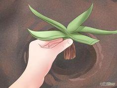 Bildtitel Plant Aloe Vera Step 4