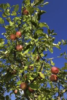 Homemade pesticide for apple tree. Fruit trees can be a haven for insects, but they don't have to be.