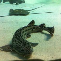 Leopard shy shark Zebra Shark, Cat Shark, Shark Jaws, All Types Of Sharks, All Sharks, Ocean Aquarium, Small Cat, Shark Week, Ocean Life