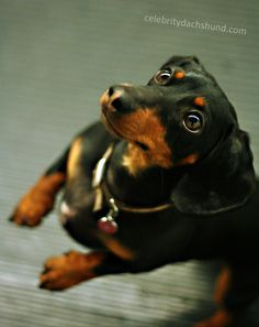 Oh, that look - Pure trouble with a twist of cuteness mixed in... #Dachshund #Doxiedarlin'