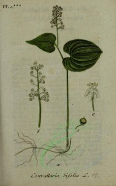 convallaria bifolia - high resolution image from old book. Engraving Illustration, Old Book Pages, Art Clipart, Picture Collection, Botany, Wall Collage, Decor Crafts, Plant Leaves, Clip Art