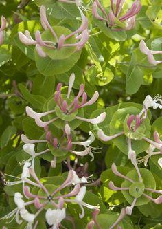Jos kaipaat pihallesi näkö- tai tuulensuojaa, istuta monivuotiset köynnöskasvit vehreäksi seinämäksi. Poimi vinkit Viherpihan istutussuunnitelmasta!