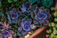 High Angle View Of Echeveria Succulent Plants Echeveria, Blue Succulents, Growing Succulents, Succulent Gardening, Planting Succulents, Succulent Plants, Succulent Ideas, Succulent Care, Suculentas Interior