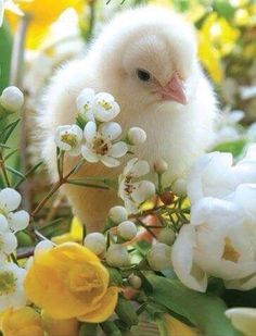 Baby Animals in Spring Beautiful Birds, Animals Beautiful, Chickens And Roosters, Tier Fotos, Baby Chicks, Beltane, Cute Baby Animals, Bird Feathers, Happy Easter