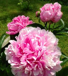 My peonies blooming more than one bloom this year. 5/2013