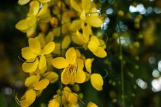 Open your Heart Yellow, 2013 Mario Morales Rubí Cassia Fistula Golden Shower Tree Botanical Fine Art Photography Prints Collection