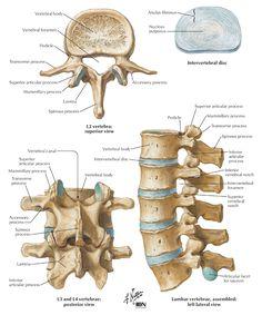 Parts of the Vertebra: Lumbar