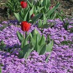Red Creeping Phlox   Phlox subulata - Creeping phlox, mountain pink The ideas are flowing ,eager to dig in the dirt!! Come on spring!!