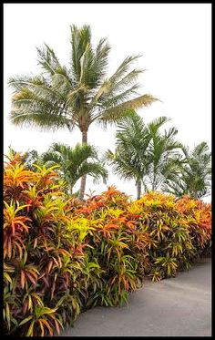 Designing With Crotons in the Landscape