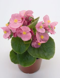Begonia Semperflorens - Google Search