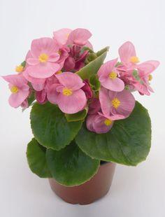 Begonia Semperflorens - Google Search