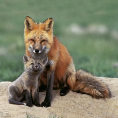 Red Foxes by Wendy Shattil and Bob Rozinski