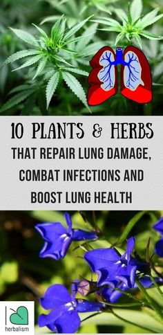 The top 10 plants and herbs to improve your lung health naturally. They boost lung health and heal respiratory infections...
