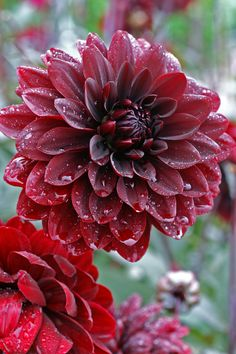 Dahlia, 'Karma Chocolate'!