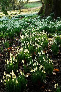 Snowdrops in the woodland, Cerney House Garden, Gloucestershire, England
