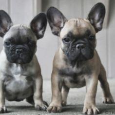 English bulldog pug mix