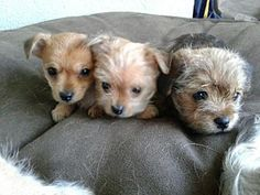 Los Angeles, California - Yorkie, Yorkshire Terrier. Meet Yorkie mix puppies, a for adoption. https://www.adoptapet.com/pet/19783292-los-angeles-california-yorkie-yorkshire-terrier-mix