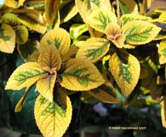 Spurflower 'Troy's Gold'  Plectranthus ciliatus. Houseplant. Grows quickly.