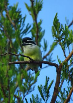 Yellow rumped tinkerbird, Emdoneni Lodge, SA, oct 4, 2016.IMG_21051