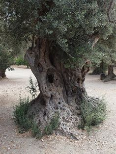 Centuries-old olive tree | Flickr - Photo Sharing!