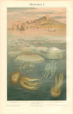 1896 Jellyfish or Jellies, Moon Jelly, Barrel Jellyfish, Mauve Stinger Original Antique Chromolithograph