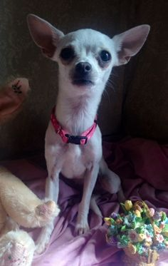 Meet Roxy a Petfinder adoptable Chihuahua Dog | Manchester, CT | Roxy is a 5 month old Chihuahua who was saved from a high kill shelter. She is up to date on...