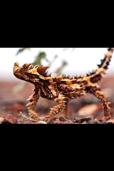 I picked this image because it is one of the animals that I am reading about in my book. This awesome looking lizard is called the Thorny Devil and I love learning about these crazy awesome new creatures and how they can evolve to wear they live like this one lives in the desert where there is very little rain so it only needs the dew to touch it's spikes and run down into its mouth. Also the big knob on the neck is a decoy head it is hard and also the lizard can puff it's self up to make it…