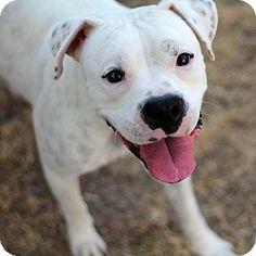 Phoenix, AZ - Boxer/American Bulldog Mix. Meet Venus a Dog for Adoption.