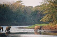 Elephants crossing the Mkuzi River @ Mkuzi Game Reserve, Zululand. South Afrika, Elephants Photos, Eternal Sunshine, Kwazulu Natal, Game Reserve, Places Ive Been, Scenery, Africa, River