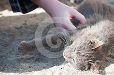 Photo about Gray cat caress on the street. Image of adorable, hairy, hair - 52738317 Grey Cats, Stock Photos, Gray, Street, Animals, Image, Gray Cats, Ash, Animales
